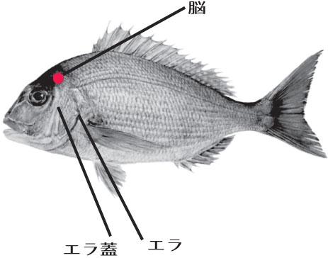 魚の脳の場所